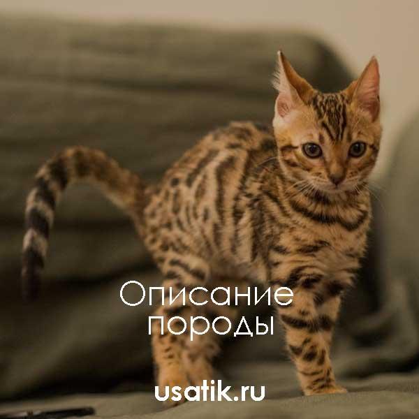 Бенгальская кошка – описание породы
