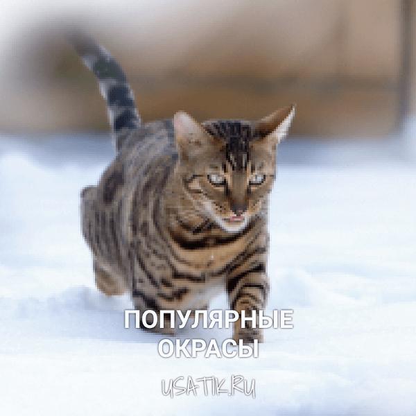 Популярные окрасы бенгальских кошек