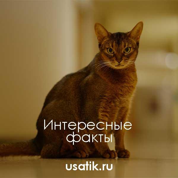 Интересные факты об абиссинских кошках