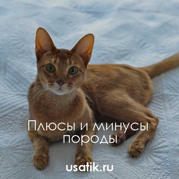 Плюсы и минусы абиссинских кошек