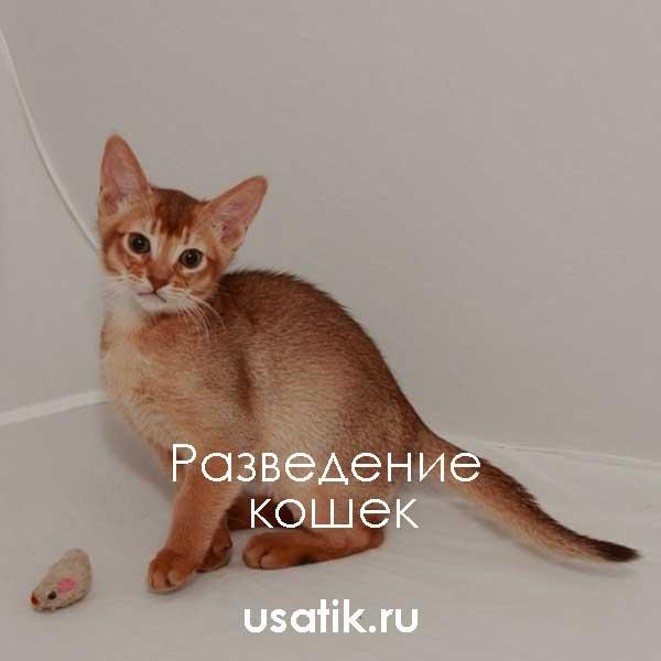 Разведение абиссинских кошек