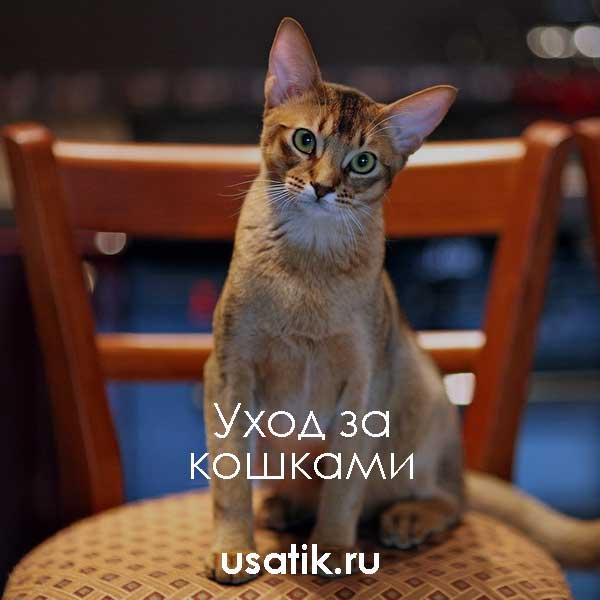Уход за абиссинскими кошками