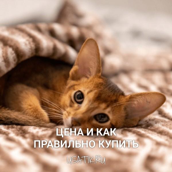 Абиссинская кошка - цена и как правильно купить