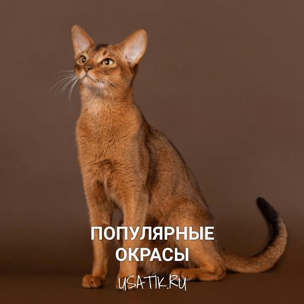 Популярные окрасы абиссинских кошек