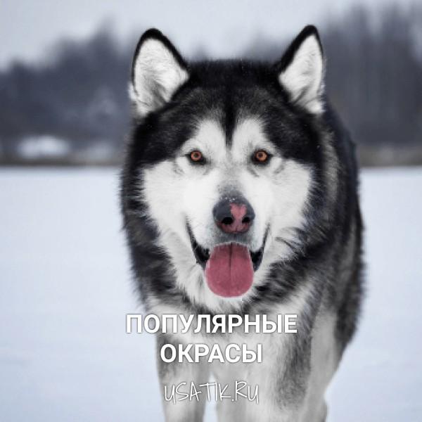 Популярные окрасы аляскинских маламутов