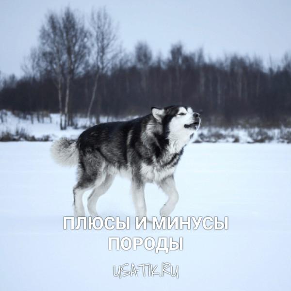 Плюсы и минусы аляскинских маламутов