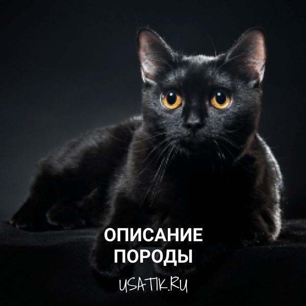 Бомбейская кошка - описание породы