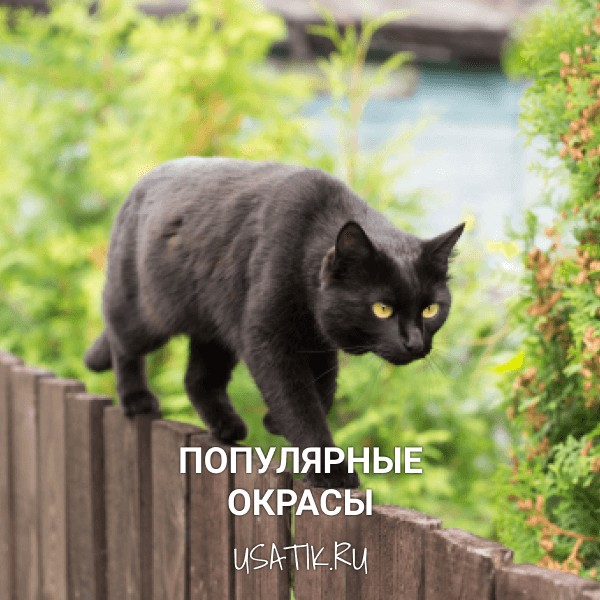 Популярные окрасы бомбейских кошек