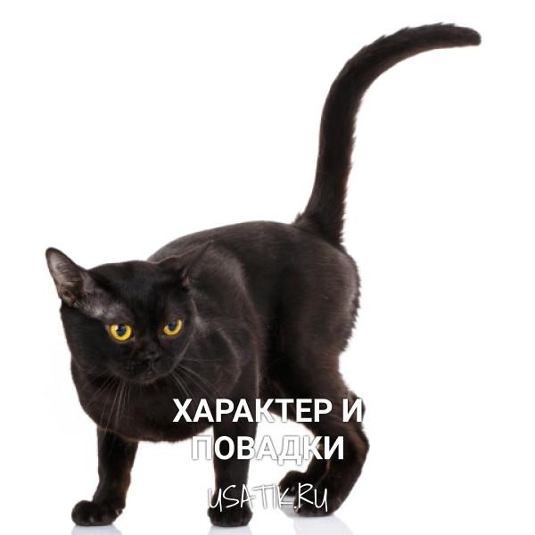 Характер и повадки бомбейских кошек