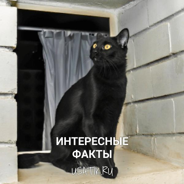 Интересные факты о бомбейских кошках