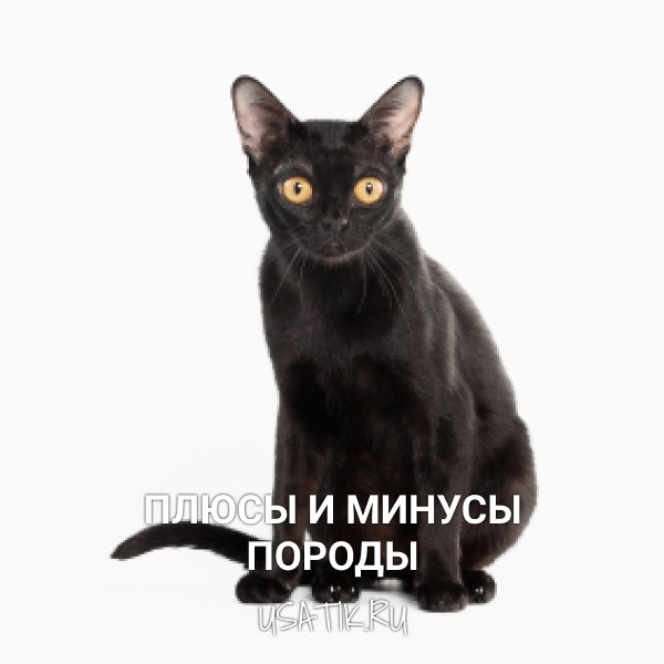 Плюсы и минусы бомбейских кошек