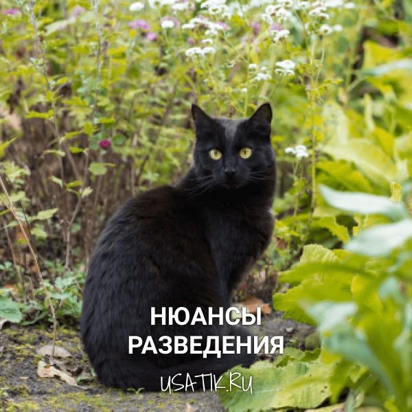 Разведение бомбейских кошек