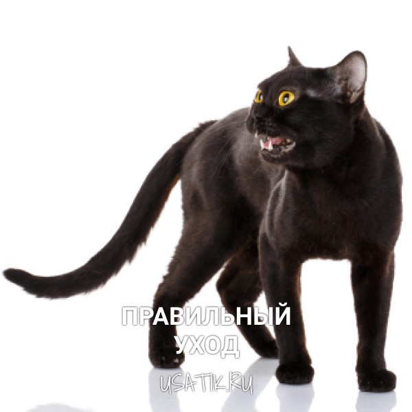 Уход за бомбейскими кошками