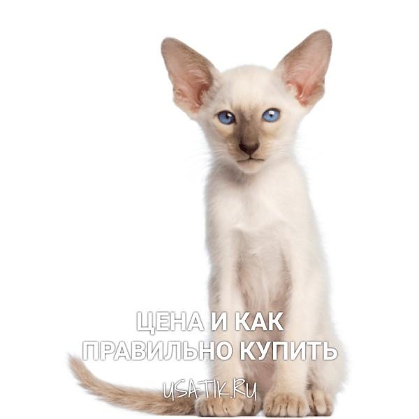 Ориентальная кошка - цена и как правильно купить