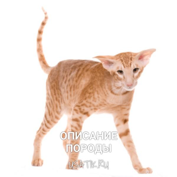 Ориентальная кошка - описание породы