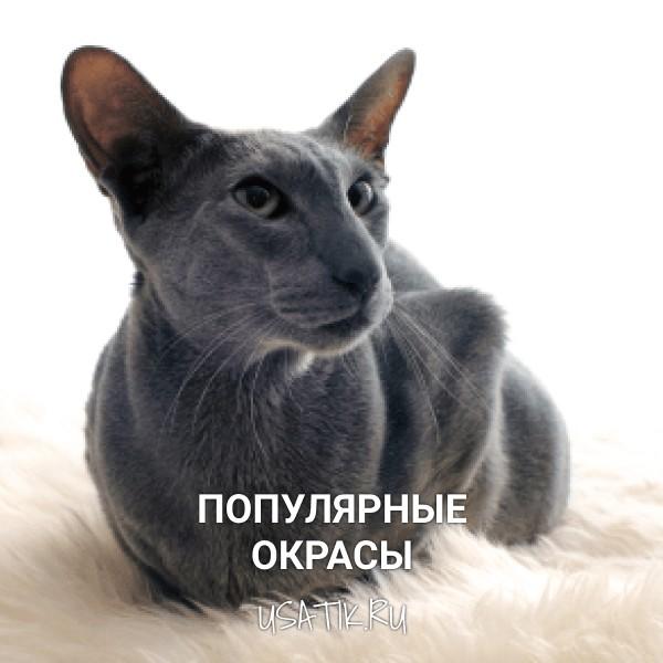 Популярные окрасы ориентальных кошек