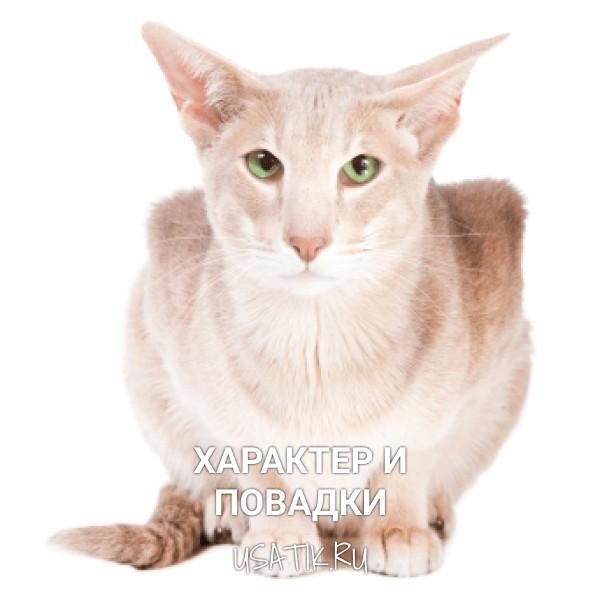 Характер и повадки ориентальной кошки