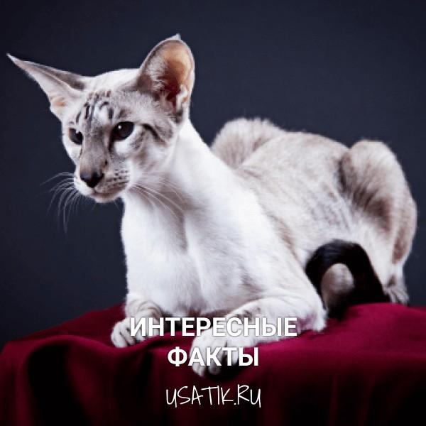 Интересные факты об ориентальных кошках