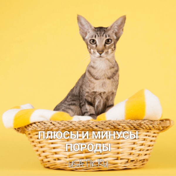 Плюсы и минусы ориентальных кошек