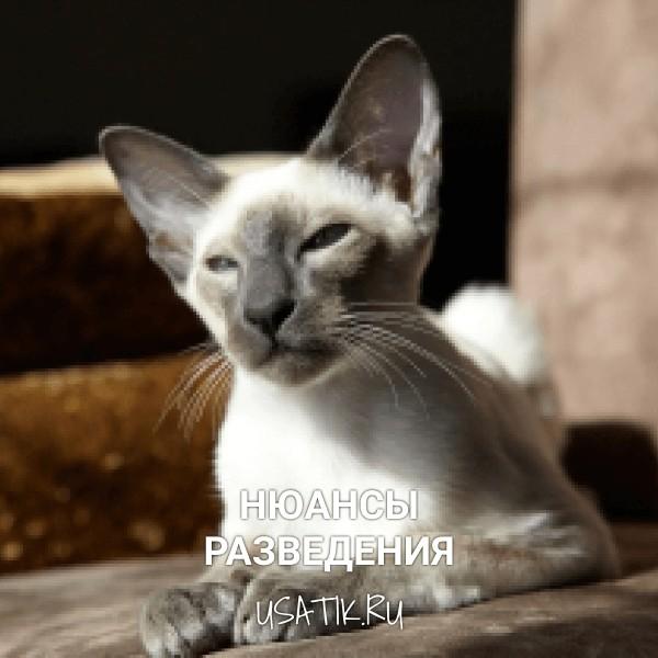 Разведение ориентальных кошек