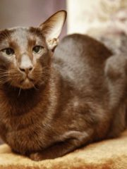 Ориентальная кошка