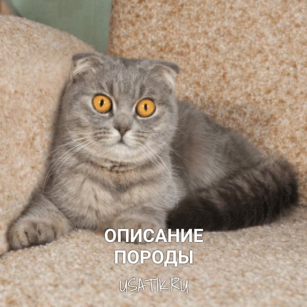 Шотландская вислоухая кошка - описание породы