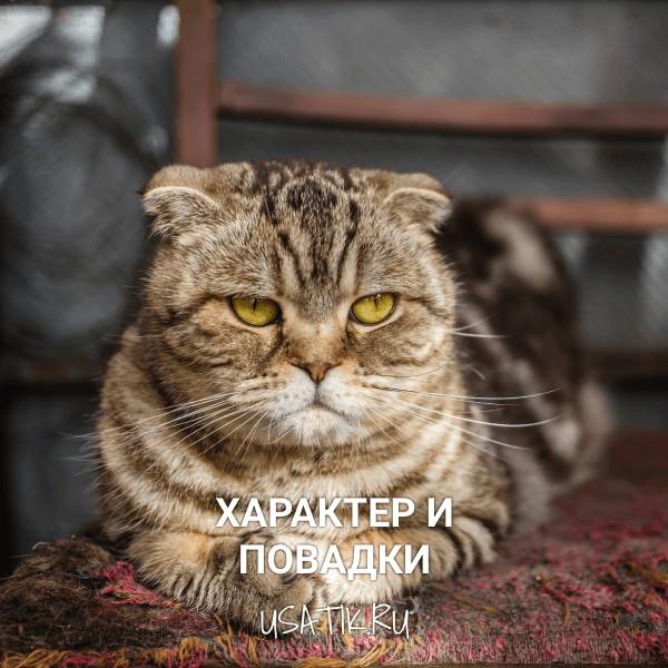 Характер и повадки шотландских вислоухих кошек