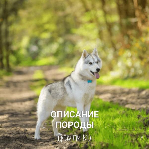 Сибирский хаски - описание породы