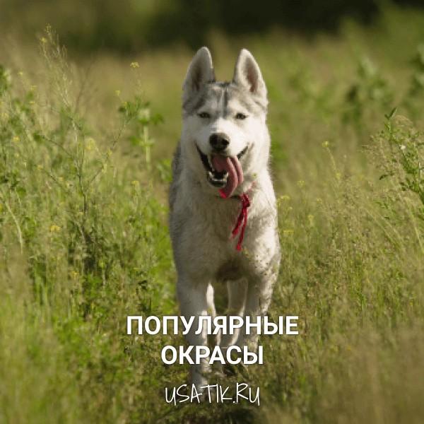 Популярные окрасы сибирских хаски