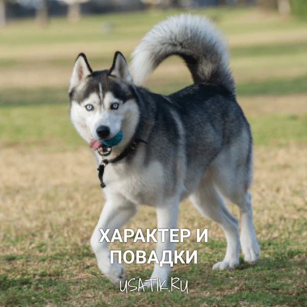 Характер и повадки сибирских хаски