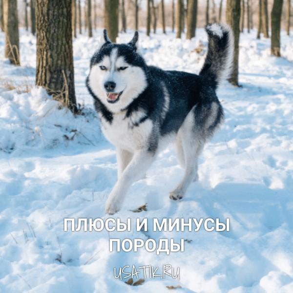 Плюсы и минусы сибирских хаски