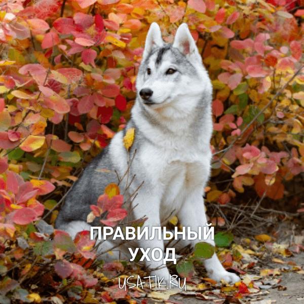 Уход за сибирскими хаски