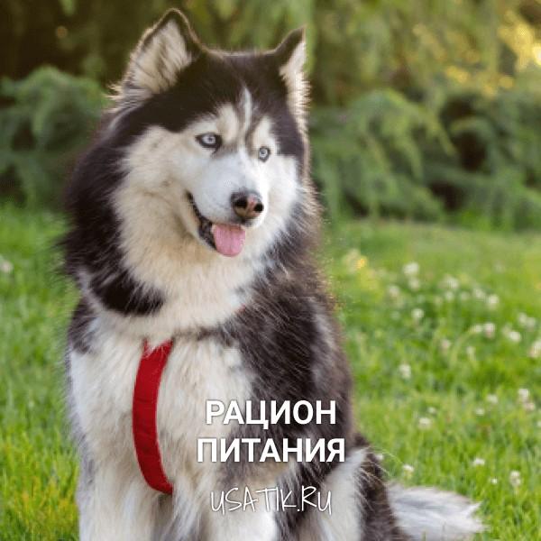 Рацион питания сибирских хаски