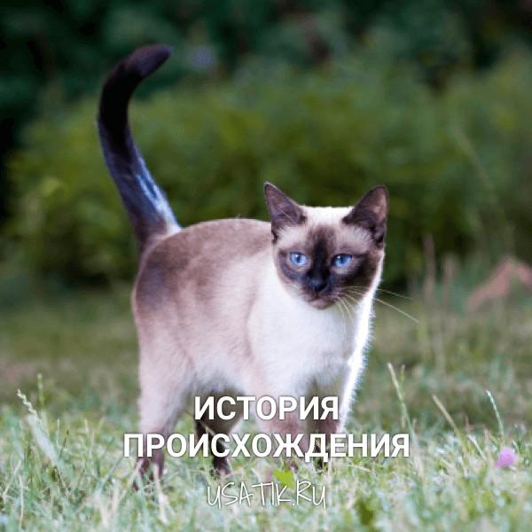 История происхождения тайских кошек
