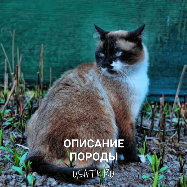 Тайская кошка - описание породы
