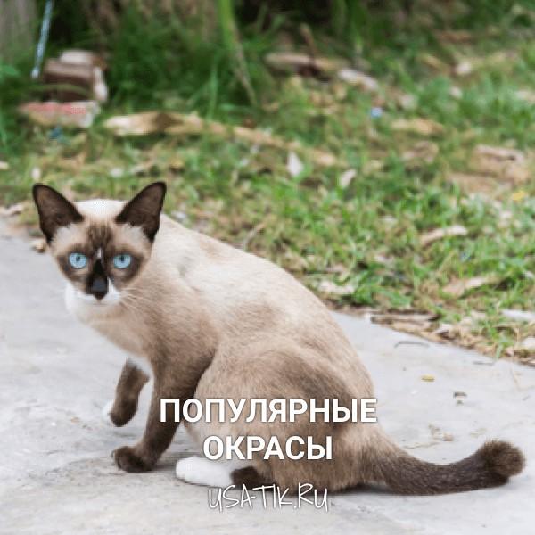 Популярные окрасы тайских кошек