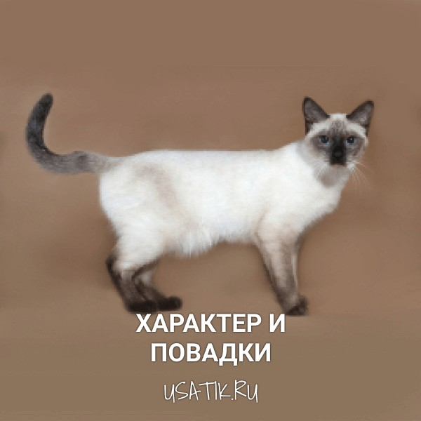 Характер и повадки тайских кошек