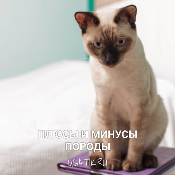 Плюсы и минусы тайских кошек