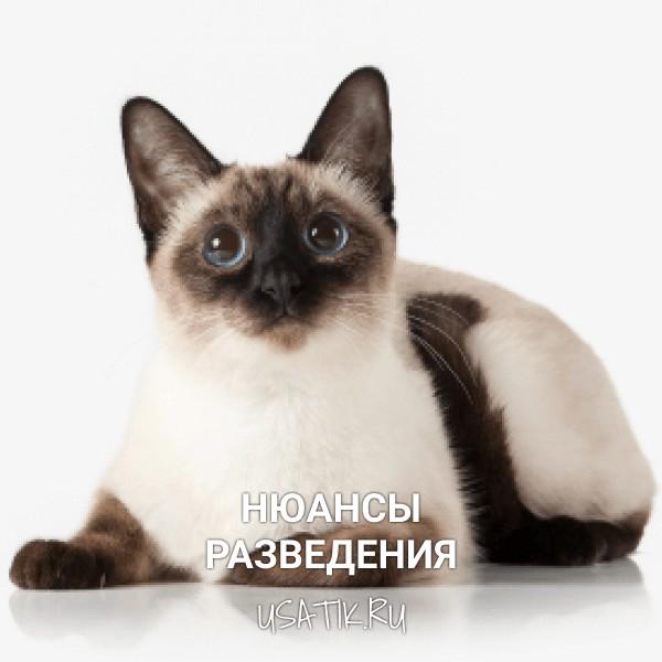 Разведение тайских кошек