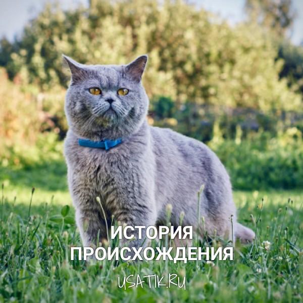 История происхождения британских короткошерстных кошек