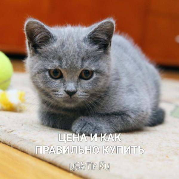 Британская короткошерстная кошка – цена и как правильно купить