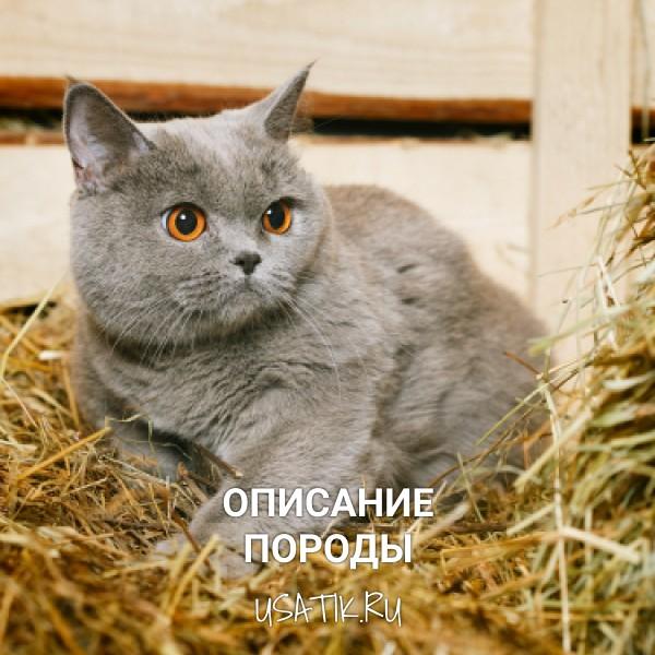 Британская короткошерстная кошка – описание породы