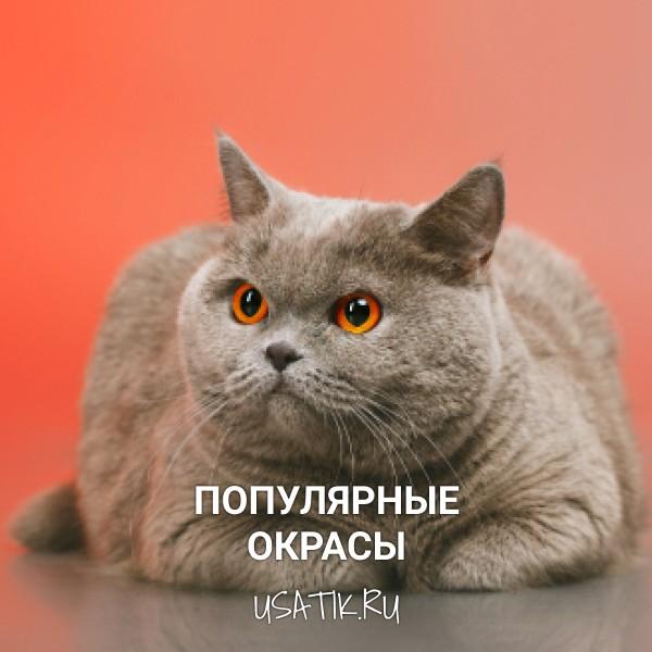 Популярные окрасы британских короткошерстных кошек