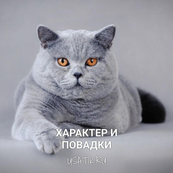 Характер и повадки британских короткошерстных кошек