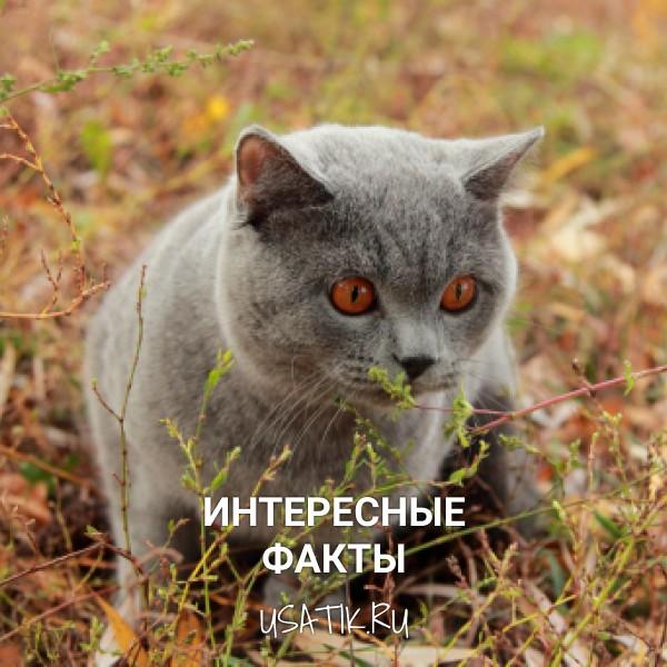Интересные факты о британских короткошерстных кошках