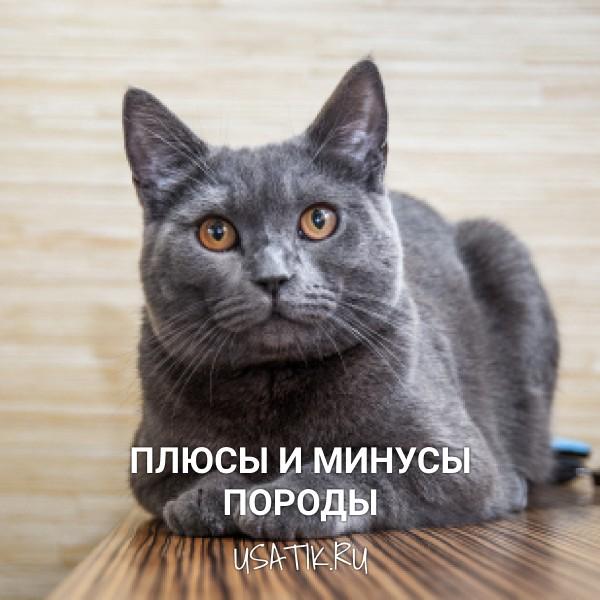 Плюсы и минусы британских короткошерстных кошек