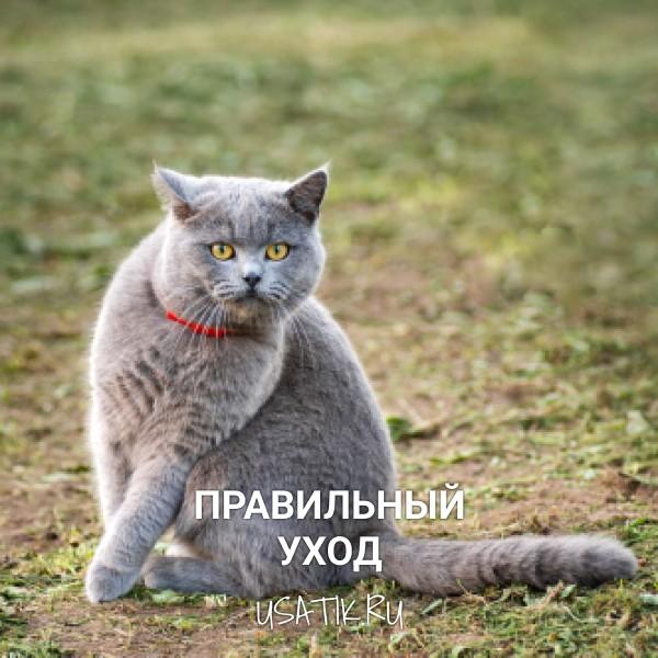 Уход за британскими короткошерстными кошками