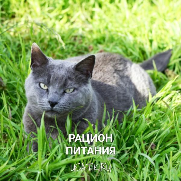 Рацион питания британских короткошерстных кошек