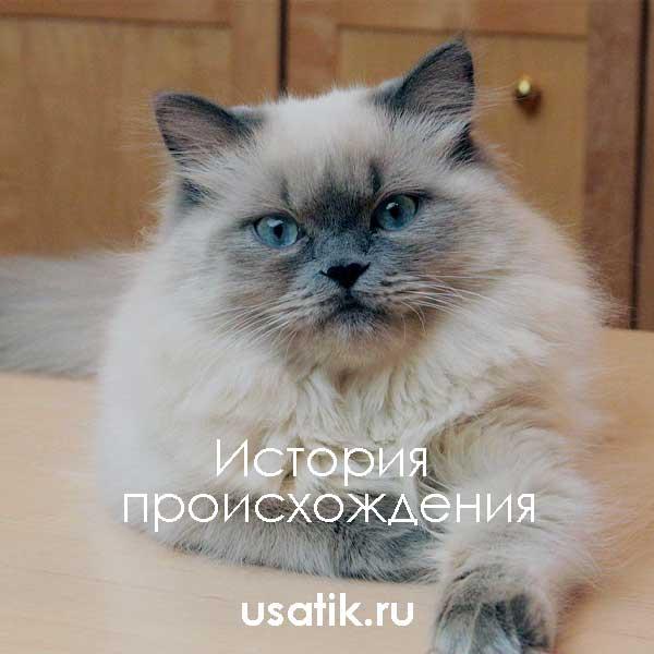 История происхождения гималайских кошек