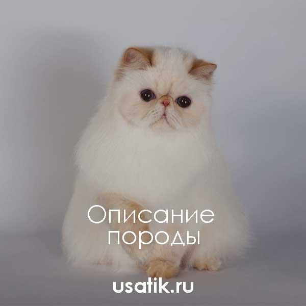 Гималайская кошка - описание породы